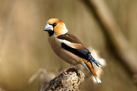 Hawfinch - Finches, Nature, Bird Species, Hawfinch