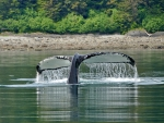 Humpback near Icy Strait Point, Alaska
