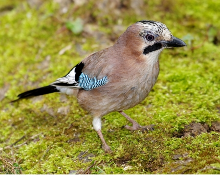 Jay - Jay, Crow Family, Nature, Bird Species