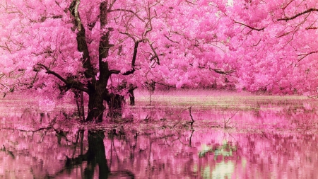 Spring - water, pink, lake, sakura, flower, spring
