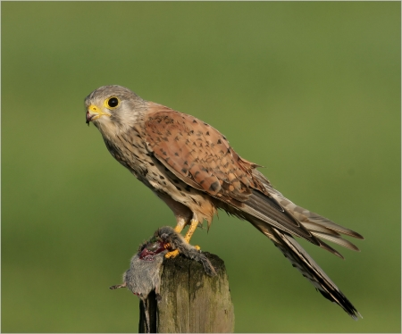 Kestrel - Kestrel, Birds of Prey, Nature, Bird Species