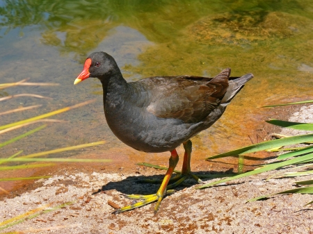 Moorhen - Wading Birds, Moorhen, Nature, Bird Species