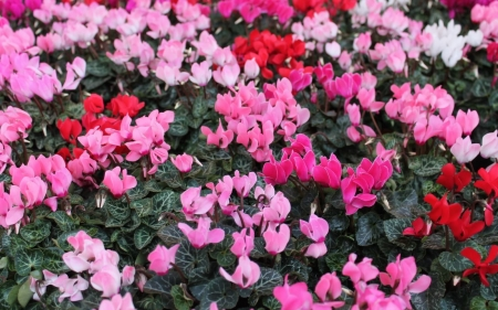 Cyclamens - flowers, nature, pink, cyclamens