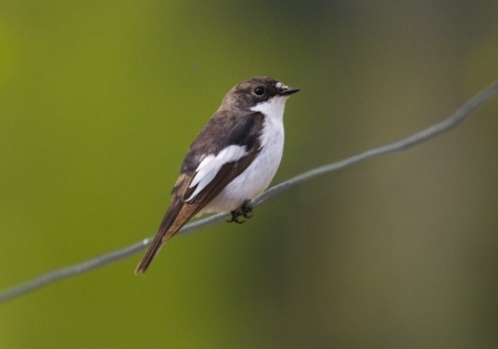 Pied Flycatcher - Birds, Nature, Bird Species, Pied Flycatcher