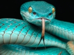Japanese blue poison snake