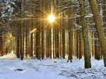 Forest sunrays in Northern Germany