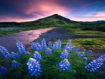 Lupine flower magic during midnight summer in Iceland