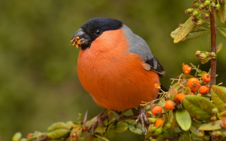 Bullfinch - bullfinch, bird, finch, animal