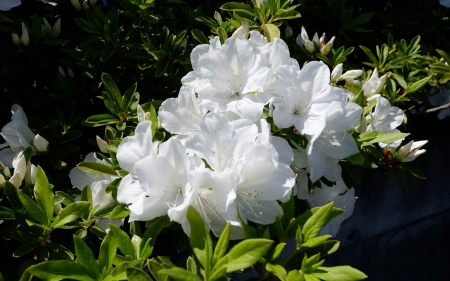 Rhododendrons - blossoms, flowers, white, rhododendrons