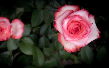 Rose - flower, nature, pink, rose