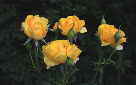 Roses - flowers, yellow, nature, roses