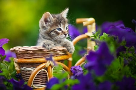 Kitten - petunia, flower, pisici, cat, kitten, yuriy korotun, blue, cute, vara, summer