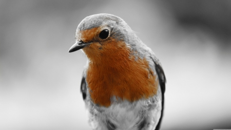 Robin - cute, robin, bird, wildlife, birds, nature, animals, wild animals, wallpaper