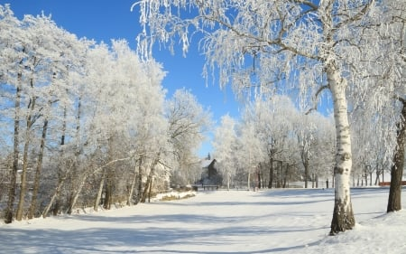 Winter in Siberia - Siberia, Russia, winter, hoarfrost, snow, birches