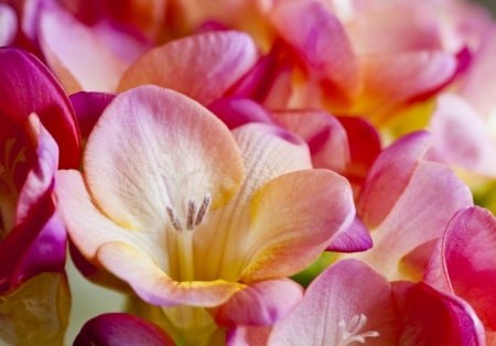 Freesias - freesia, flower, spring, pink, skin
