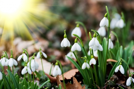 Spring flowers - early, snowdrop, sun, rays, flowers, beautiful, spring