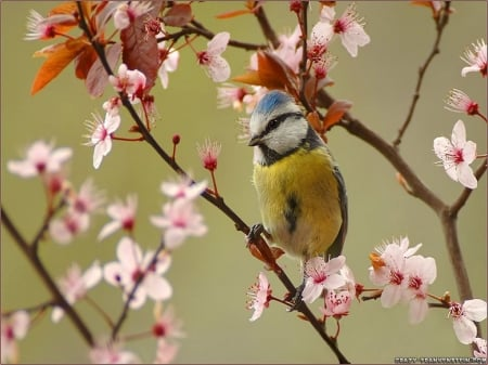 Pretty Bird in Spring - Spring, pink, bird, blossoms, flowers, branches