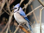 Blue Jay Beauty
