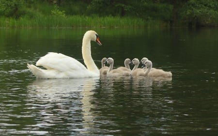 Swan Family - Poland, family, water, swans