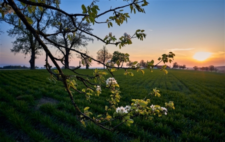 apple blossoms - apple blossom, dawn, branch, field