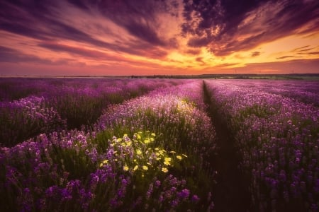 Lavender-Field Sunset - Lavender, nature, Field, Sunset