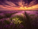 Lavender-Field Sunset