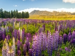 Lupin Field, Lake Tekapo, New Zealand