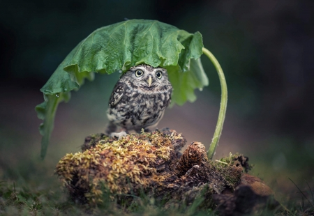 Owl - owl, bufnita, green, bird, umbrella, pasari, rain, leaf