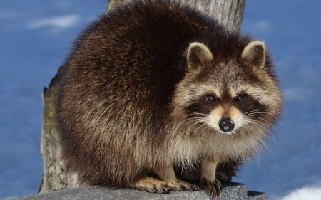 Raccoon - cute, nature, raccoon, animal