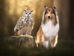 Owl and Scotland Sheepdog