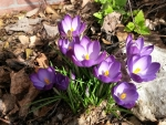 Crocuses and Bee