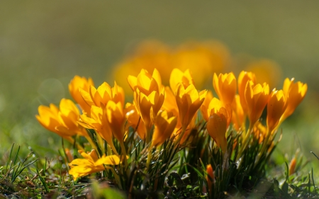 Crocuses - flowers, yellow, spring, crocuses