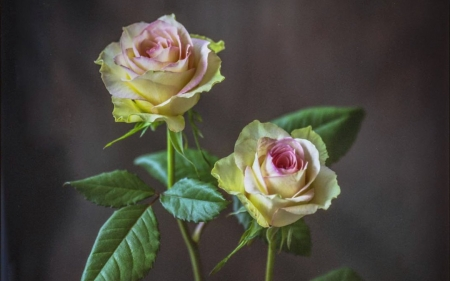 Roses - flowers, two, roses, plants
