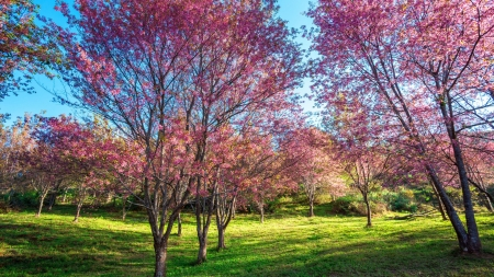 Spring blossoms - sunshine, trees, landscape, cherry, sky
