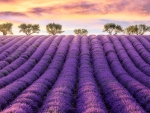 Sunset on Rows of Lavenders, France