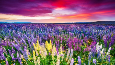 Lupine field at sunset - field, lupine, colorful, fiery, sunset, beautiful, sky