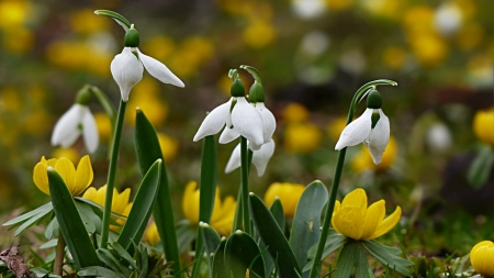 Snowdrops and Winter Aconite - garden, blossoms, flowers, spring, petals