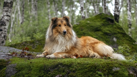 Rough Collie - collie, animal, dog, rough