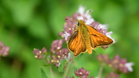 Large Skipper Butterfly - insect, butterfly, skipper, large
