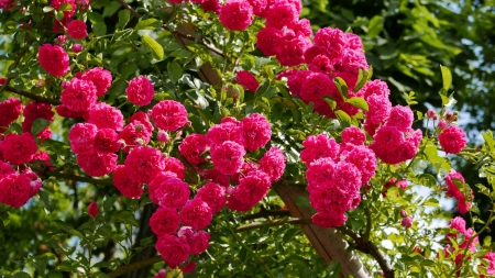 Blooming roses - beautiful, flowering, spring, blooming, roses, fence, red, scent, fragrance, garden, flowers