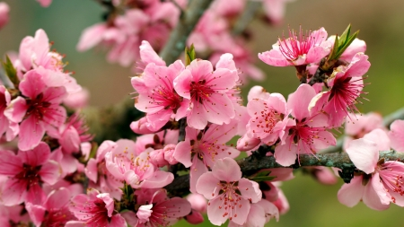 Apple blossoms - apple, tree, blossoms, scent, spring, beautiful, fragrance, blooming, branch