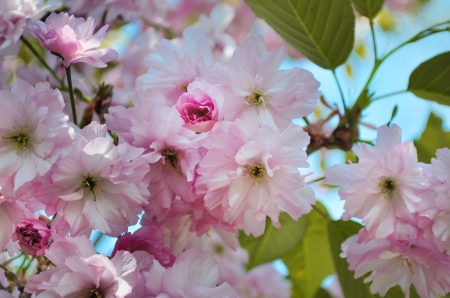 Cherry blossoms - cherry-blossoms, nature, pink, photography, flowers, HD