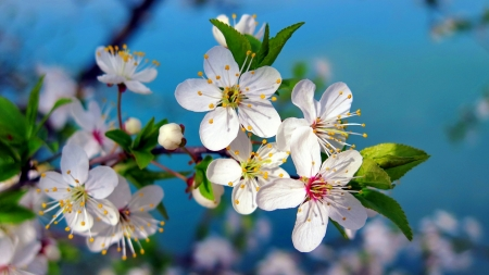 Spring cherry branch - bloosoms, scent, spring, flowering, fragrance, blooming, branch, beautiful, leaves, cherry