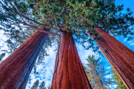 P.O.V. of the Giant Sequoia Trees - sequoia, forest, nature, trees, usa