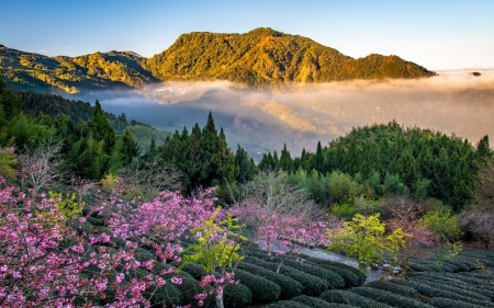 Mountains in Taiwan - trees, tea plantation, mountains, Taiwan, blooms, mist