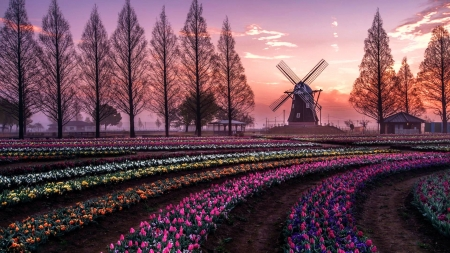 Flower Fields in Netherlands - trees, windmill, sunset, spring, tulips, sky