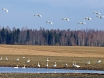 Swans in Latvia