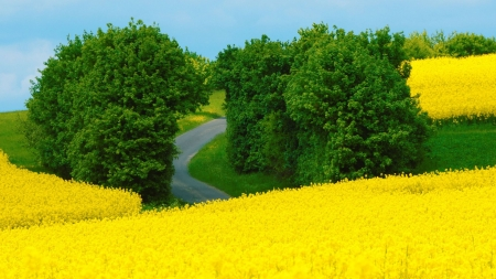 Rape Fields - blossoms, yellow, sky, trees, hills