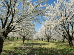 Cherry Orchard in France