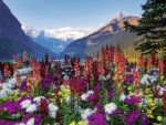 Colorful Flowers at Lake Louise, Banff NP